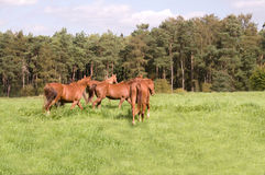 Horses  go  in the pasture. Stock Images