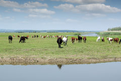 Horses go to drink water Stock Image