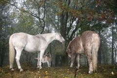 Horses and goats eating hay Stock Photo