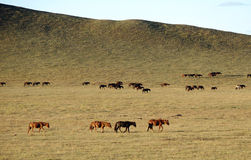 Horses on golden grassland in Autumn Stock Photos