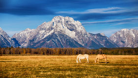 Horses in the Grand Teton National Park Royalty Free Stock Images