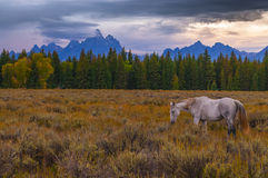 Horses in Grand Tetons Royalty Free Stock Image