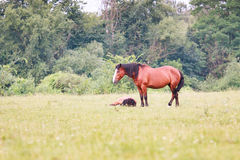 Horses in grass. Adult horse and foal in the meadow Royalty Free Stock Photo