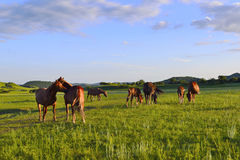 Horses on the grass Royalty Free Stock Images