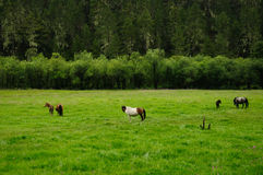 Horses in the grass farm in SHANGRI-LA Stock Photography