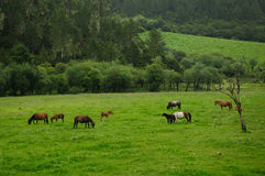 Horses in the grass farm in SHANGRI-LA Royalty Free Stock Photo