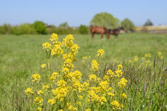 Horses on the grass in the pasture. Yellow flowers on a horse background. Horses graze in the pasture. Paddock horses on a horse farm. Walking horses stock photography
