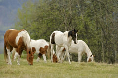 Horses grassing Royalty Free Stock Images