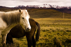 Horses and grasslad, tibet royalty free stock photography