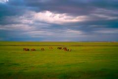 Horses in grassland royalty free stock photo