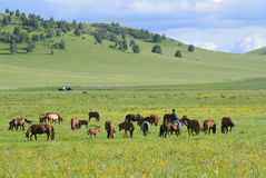 Horses and  grassland Stock Image