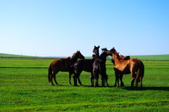 Horses on grassland royalty free stock images