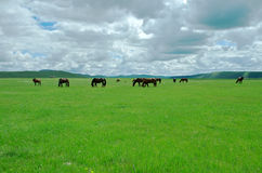 Horses on the grassland Stock Photography