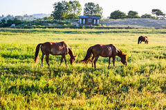 The horses on the grassland Royalty Free Stock Image