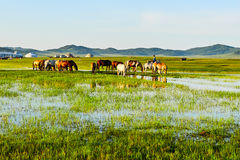 The horses on the grassland Stock Image