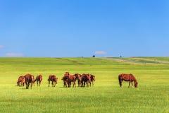 Horses in the Grassland. It`s in Hulunbiur grassland, inner Mongolia, China stock photo