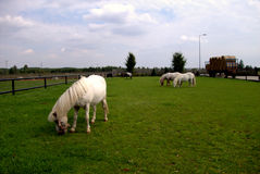 Horses in the grassland. Two horses on the grassland Stock Photos