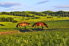 Horses on the grasslands of Inner Mongolia Royalty Free Stock Photography