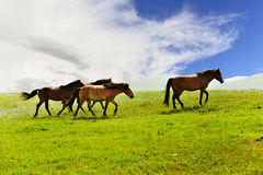 Horses on the grasslands of Inner Mongolia Stock Photography