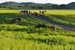 Horses on the grasslands of Inner Mongolia Royalty Free Stock Images
