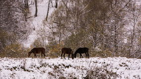 Horses graze on the Alpine slopes of high mountains of the Caucasus in the late autumn. stock video footage