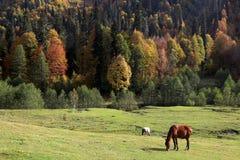 Horses graze in the Caucasus mountains stock photos