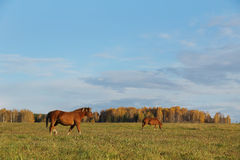 Horses graze on an autumn meadow Stock Images