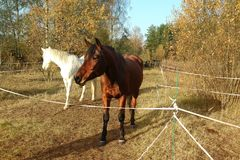 Horses graze among the autumn trees. royalty free stock image