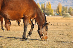 Horses graze the dry grass in the pasture Royalty Free Stock Photos