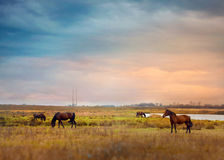Horses graze in a field. Farmland Royalty Free Stock Photography