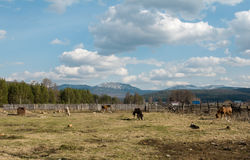 Horses graze on the field in the background of mountains Stock Images