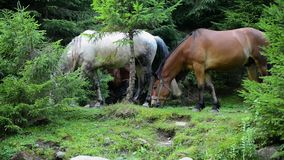 Horses graze in the forest stock footage