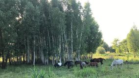 Horses graze on a green field. Herd of horses walks in the meadow through the grass stock video footage