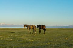 Horses graze on a green meadow. Near a mountain lake Stock Images