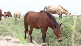 Horses graze stock footage