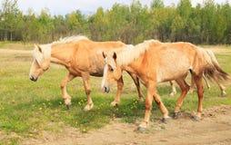 Horses graze in a meadow. Stock Photos
