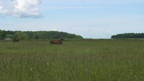 Horse on a summer pasture. Horses graze in the meadow. Horses grazing on the summer green pasture. 4K video stock video footage