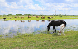 Horses graze in a meadow near the river. Stock Images