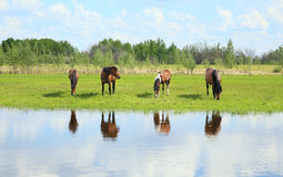 Horses graze in a meadow near the river. Royalty Free Stock Photos