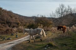 Horses graze in a meadow. In the Republic of Abkhazia Stock Images
