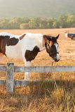 Horses graze on the meadow at sunset Stock Image