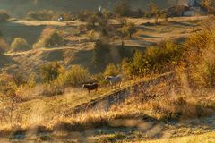 Horses graze near the mountain in the pasture in the autumn royalty free stock photos
