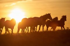 Free Horses Graze On Pasture At Sunset. Stock Images - 106226894