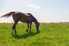 The horses graze outdoors Royalty Free Stock Image
