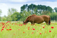 The horses graze outdoors in a flowering meadow. Stock Photo