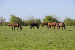 Horses graze in the pasture. Paddock horses on a horse farm. Walking horses Royalty Free Stock Photography