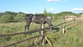 Horses graze in a pen. Horses grazing in the paddock in summer stock video