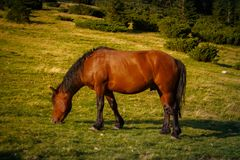 Horses graze in the Polonin in the Carpathian mountains. Ukraine stock photo