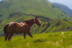 Horses graze in the Polonin in the Carpathian mountains. Ukraine royalty free stock images