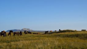 Horses graze on the slopes of the Caucasus mountains in Russia, Bermamyt plateau. UHD 4k stock footage